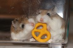 Dwarf Hamsters nibbling on a specially made hamster treat