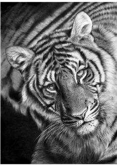 Last Chance To See ~ pencil drawing by Peter Williams