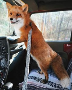 """133.6k Likes, 676 Comments - J U N I P E R (@juniperfoxx) on Instagram: """"Traveling with a fox After announcing that we would be traveling with Moose yesterday many of you…"""""""