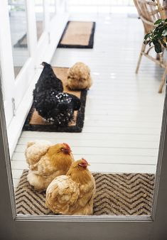 "Ha, I want chickens in my yard.  Kara's trying to figure out how to get them out of her house!  "" these cheeky feather bombs were trying their hardest to get inside the house…. I'm still puzzled as to why they love being indoors so much""…Kara Rosenlund"