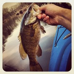 Smallmouth bass I love to catch and I love to eat. Don't judge me it's good fried.