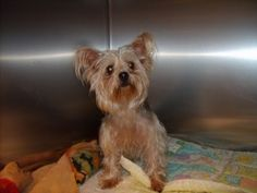 Urielle is an adopted Yorkshire Terrier Yorkie Dog in Rawdon, QC. Urielle's story has touched our hearts. This 1.5 yo little girl stayed next to the body of her deceased owner until he was found a wee...
