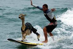 Llama surfer