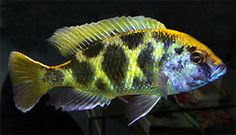 clown afra cobue cichlid to long clown afra cobue cichlid featured ...
