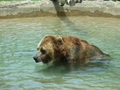 Grizzly Bear cooling off in the pool - Toronto Zoo