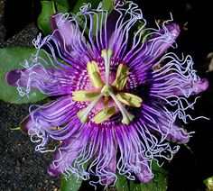 These are totally alien. Love them. Wild Maypop Passiflora incarnata seeds. It said under the picture that I can by them on SmartSeeds on Etsy. Like seriously, Etsy? That is for crafts, not flowers. But whatevs, as long as I can get me some.