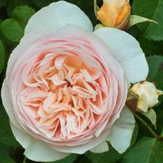 Garden Rose- Juliet, warm peach blush color,  full aperture 2. 5 to 3 inches