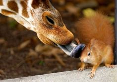 The best wildlife photography is often expressed through the unexpected. Like these giraffe kisses for a squirrel!