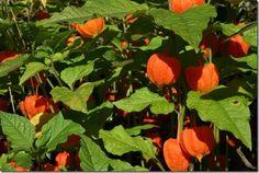 8 Physalis alkengii var. franchettii dwarf, 10 Great Perennials To Grow For Cutting