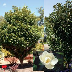 Concept Ideas- Pool planting Magnolia grandiflora 'MGTIG' PBR Greenback (R) - the gorgeous evergreen Greenback Magnolia features glossy leaves with a green underside and is a tough tree that will cope well in most coastal conditions. Hedge Trees, Garden Trees, Trees And Shrubs, Garden Plants, Evergreen Magnolia, Magnolia Trees, Pool Plants, Landscaping Plants, Landscaping Ideas