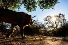 Burrard-Lucas photography  Lion photographed with BeetleCam - Lower Zambezi National Park, Zambia #lion #nature #wild