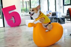 Corgis. Because they can.