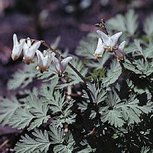 Dutchman's breeches - dicentra cucullaria - a good choice for underneath the redbud and white pine. Plant Catalogs, Annual Plants, Trees And Shrubs, Early Spring, Flower Seeds, Garden Supplies, Perennials, Wild Flowers, Woodland