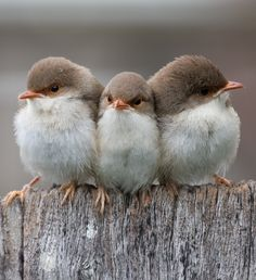 Fairy Wren chicks~I've never seen this bird...but aren't they just adorable?