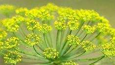 Kapor a sok oldalú fűszernövény! Health 2020, Plant Identification, Herbs, Healthy, Diabetes, Therapy, Alternative, Herb, Health