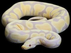 Candy Pastel Ball Python -   Morph: Designer  Pastel (Co-Dominant)  Candy (Recessive)