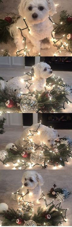"Bentley ""helping"" decorate for Christmas. Such a sweet puppy. #maltese #maltesedog #bentley #puppy #puppylove"