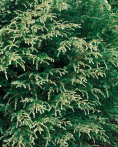 """Conifers for Shade--Gentsch White' hemlock (Tsuga canadensis 'Gentsch White') Zone 4–8 (another guide says 3-7);  new growth is white so brightens shade areas; provides contrast to dark greens, pest-free & immune to woolly adelgid; 4' tall & wide small fits under taller trees or shrubs, 1-3"""" growth/yr; prefer little morning sun & well-drained soil. Tolerates deer."""