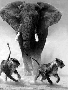 Majestätiskt Elefant. Lejoninnor.