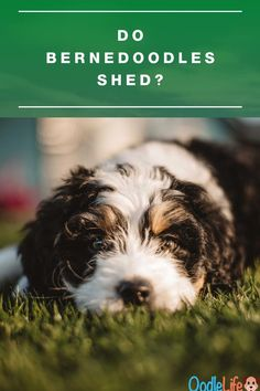 Do Bernedoodles Shed? Ultimate Guide to Best Non-Shedding Bernedoodles  We detail the types of Bernedoodle puppy that are most and least likely to shed