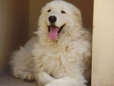 Check out the many different Kuvasz Pictures and Kuvasz images. Get an in depth look at the Kuvasz and see the many things that this breed has to offer. Guard Dog Breeds, Top Dog Breeds, Best Dog Breeds, Pug, Cold Weather Dogs, Great Pyrenees Dog, White Dogs, White Fur, Mountain Dogs