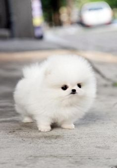Pomerania dog
