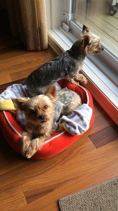 Bailey and Sono Morkies
