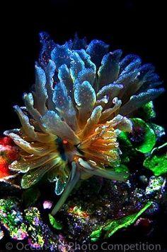 Cyerce Sea Slug by Divonsir Borges
