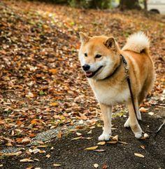 """柴犬, #Shiba Inu <3 ~lisa @ 12 hours ago. 22 hours ago """"protective coloration. 月曜日おはまる〜*(^o^)/* まると落ち葉の色が一緒だね。今週も柴っていこ〜 月曜日は笑顔で頑張る日。保護色、目立たない。""""(c)"""