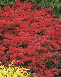 Red Leaf Barberry Berberis Thunbergii Bushes And