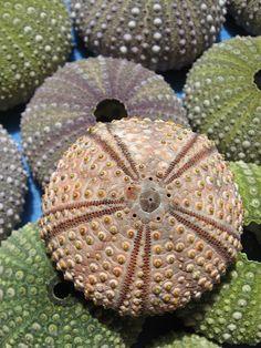outofthewreckage:    Sea Urchins (by splintered)