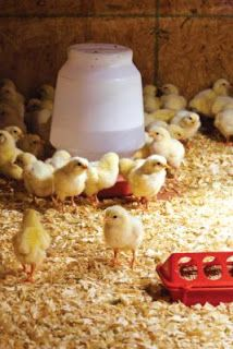Farming & Agriculture: Backyard Chicken Basics