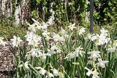A clump of narcissus triandus Thalia in full bloom.