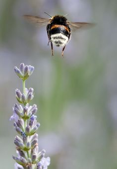 One of nature's great pollinators/image by Greyhorse