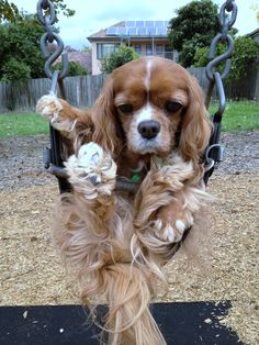 My cavalier king charles spaniel wasn't too impressed with the swing!
