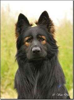 """Badass lookin GSD """"... with the sweetest, most soulful eyes. He looks like he doesn't have an aggressive bone in his body! -DC"""