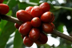 Three decades ago, Costa Rica outlawed cultivation of the robusta coffee bean in order to promote production of arabica, the variety prized by high-end roasters around the world.