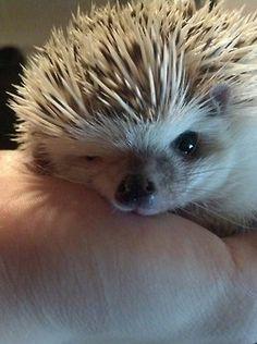 animals cute hedgehog cute animals