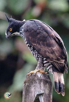 Blyth's hawk-eagle - Raptor