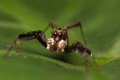 Salticidae - Portia labiata (male)
