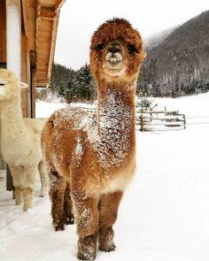 Llama Alpaca, Snow Dogs, Wtf Funny, Say Hi, Dog Cat, Cute Animals, Feb 14, Llamas, Spongebob