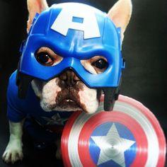 French Bulldog as Captain America, too Precious.
