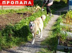 Пропала собака лайка г.Сургут http://poiskzoo.ru/board/read30842.html  POISKZOO.RU/30842 Пожалуйста, если кто-то увидит лайку в районе ЦНДГ .. Федоровскнефти или где-то еще в том районе (думаю далеко не убежала бы) - не сочтите за труд, позвоните пожалуйста ..., ... Потерялась в лесу .. около .. часов. У нее была травма, поэтому сама навряд ли прокормится. С удовольствием прыгает в багажник любой машины (приучена, хозяин рыбак. ). Окрас светлый, хвост калачиком. Кличка Нюра Вознаграждение…