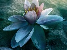 https://flic.kr/p/xtppkE | water lily