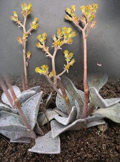 lenophyllum guttataum