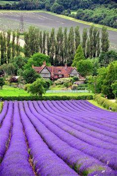 The Lavender fields at Castle farm Kent, England