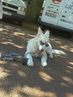 http://www.youtube.com/user/TheAnnDDDDD  https://www.facebook.com/AlaskanNobleCompanion  Alaskan Noble Companion Dog ANCD