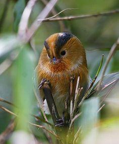 fulvous parrotbill - SYLVIIDAE
