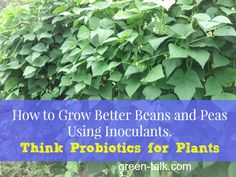 Use Bean Inoculants to Grow a Better {Bumper} Pea and Bean Crop!
