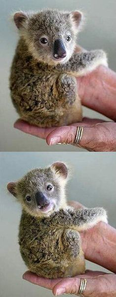Australian - Koala baby - rarely seen out of pouch so young...